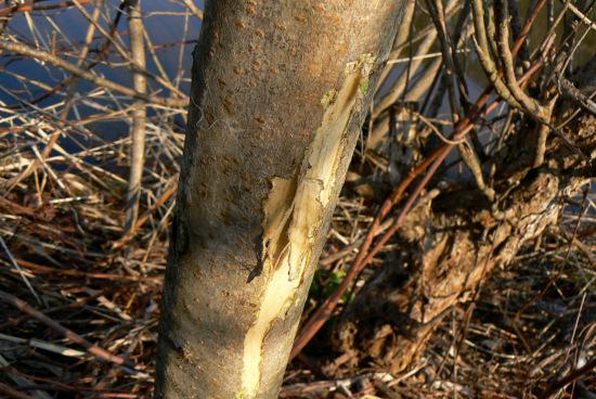 120415 皮を剥がれた木