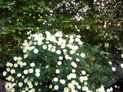 近所の花4