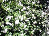 近所の花5