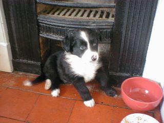ボーダーコリーの仔犬の写真