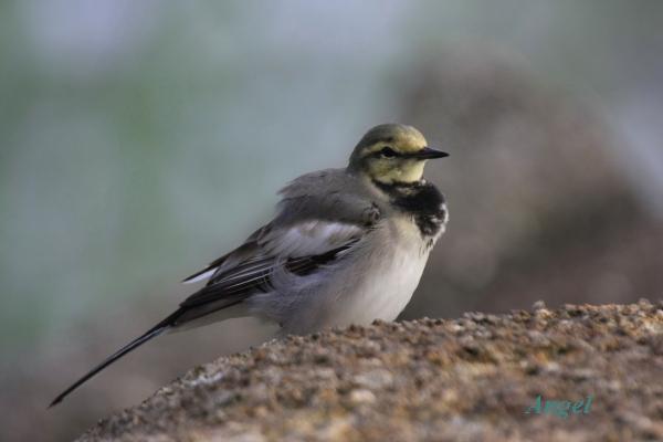ハクセキレイ幼鳥Angel1