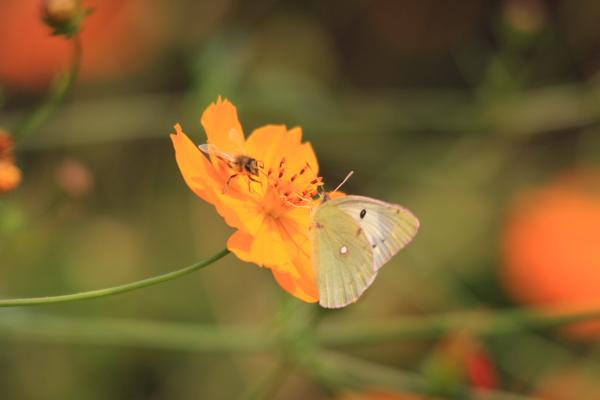 ミツバチ&モンキチョウAngel1