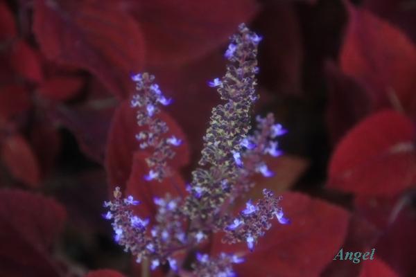 コリウスの花Angel10