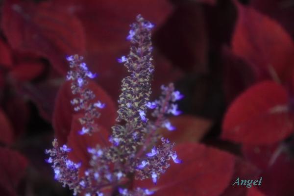 コリウスの花Angel12