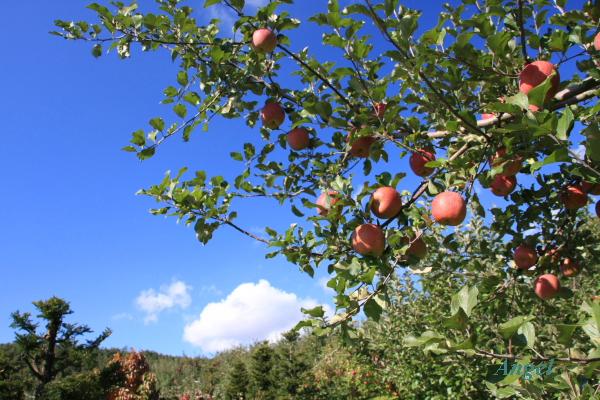 りんご園Angel2