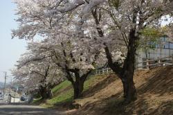 銭函小学校桜
