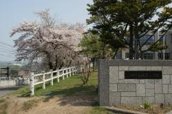 銭函小学校前桜