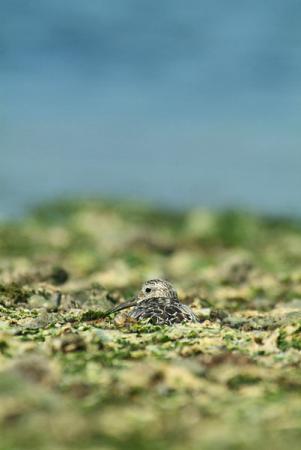休息するオバシギ