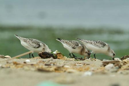 ミユビシギ幼鳥3羽