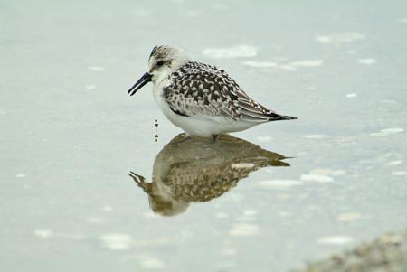 浅瀬のミユビシギ幼鳥