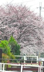 用水にかかる桜