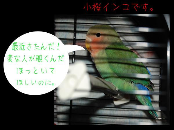 小桜インコ