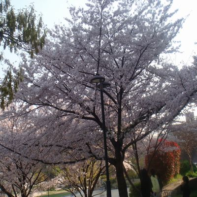 2009sakura.jpg