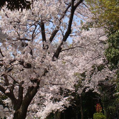 2009sakura0.jpg