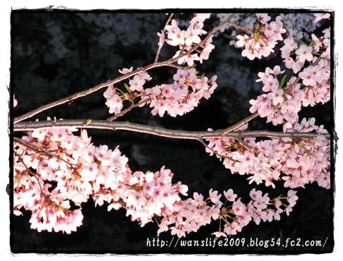 yozakura-11.jpg