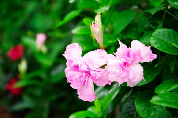 マンデビラ(八重咲き)