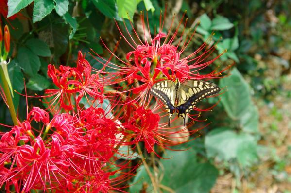 リコリスとアゲハの蝶