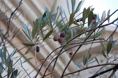 江ノ島オリーブの木?