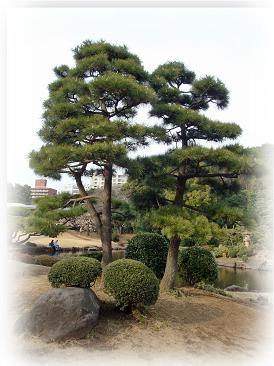 松(御苑)