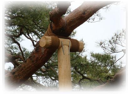 兼六園 松の木の支え柱