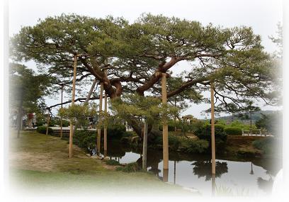 兼六園 松の木