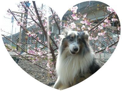桜の前でウィル