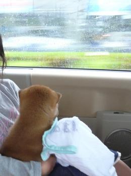 柴犬初ドライブ