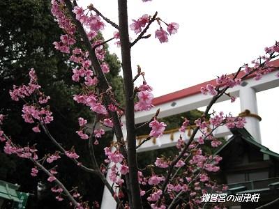 何で河津桜?