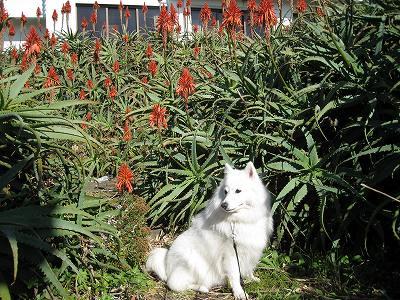 アロエもまだ咲いてる