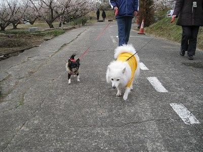 一生懸命歩く仔とぐうたら歩く仔