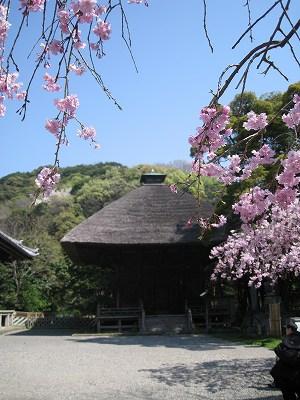 桜の称名寺Ⅳ