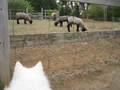 羊山の羊達