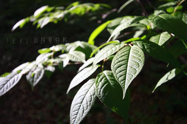 つたブナ林1