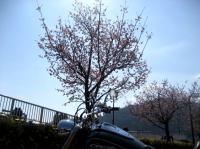 桜サク。。。