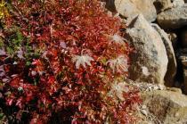 チンクルマの紅葉