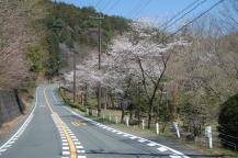 車道沿いの満開の桜