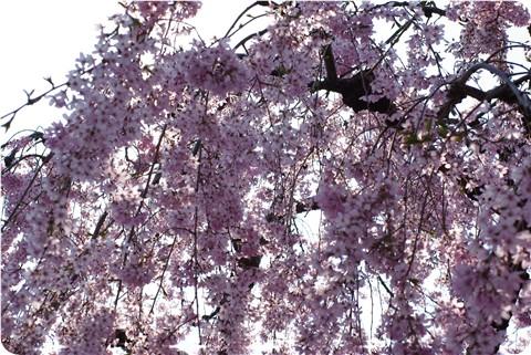 枝垂桜のカーテン