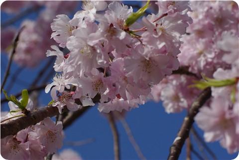 フ~の公園の桜・1