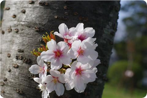 フ~の公園の桜・2