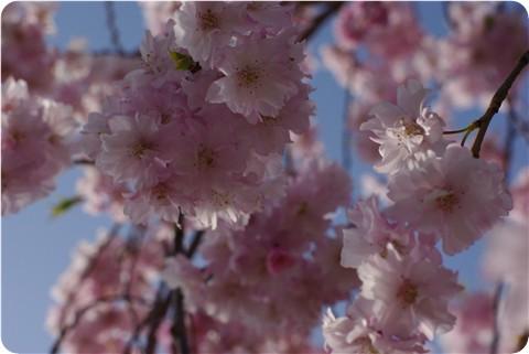 フ~の公園の桜・3