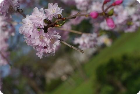 フ~の公園の桜・4