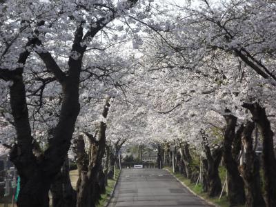 s-ふわっと春の三内桜