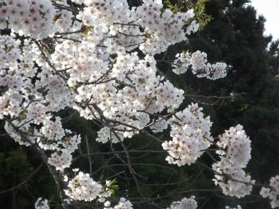 s-110506三内桜