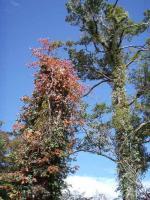 ツタの紅葉が青空に映える