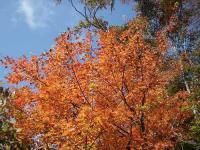 18.オレンジ紅葉