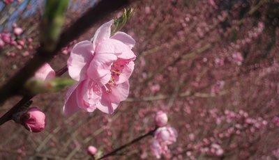 桃の花も咲きはじめですね