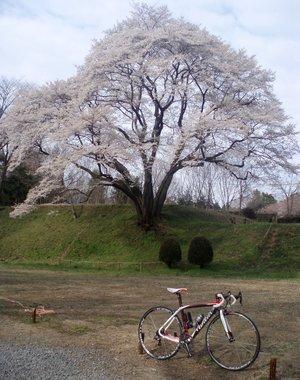 鉢形城の桜@南から