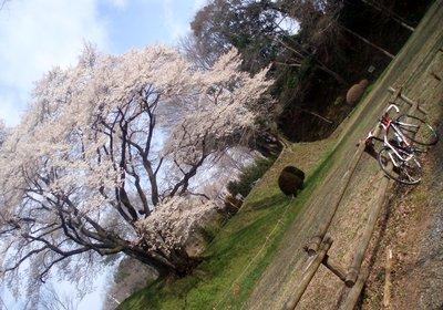 大きい桜です