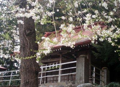 白鳥神社のサクラ@長瀞町岩田