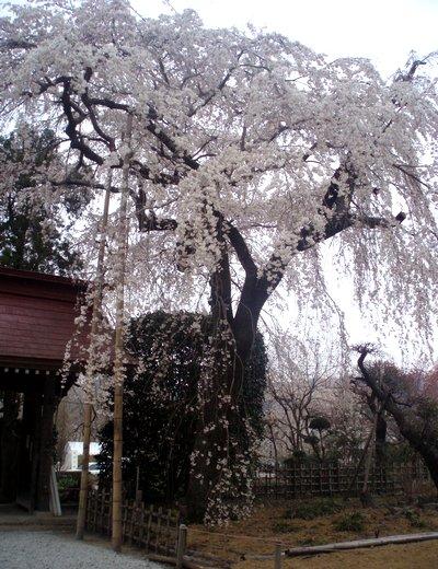 法善寺境内の桜@長瀞